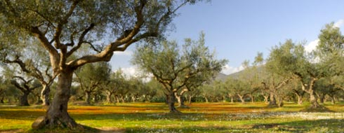 Olive oil estates in Greece